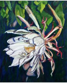 Night Blooming Cereus: Queen of the Night.